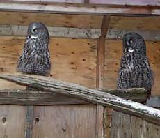 rehab_grey_owls